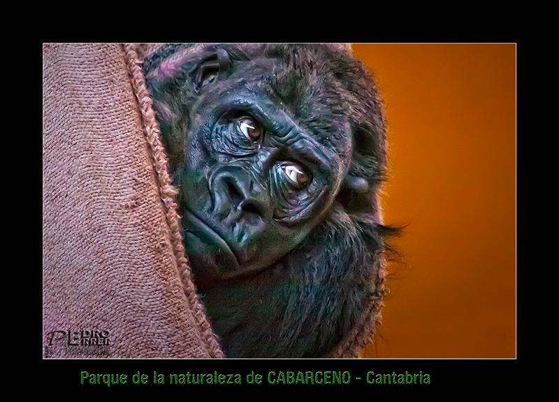 Parque de Cabárceno - Gorila - a tres bandas