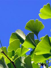 Living Fossil (BlueRidgeKitties) Tags: blue plant tree green leaf ginkgo spring may maidenhairtree ginkgobiloba botany dioecious gymnosperm wataugacounty ginkgoaceae livingfossil ccbyncsa ginkgophyta taxonomy:kingdom=plantae taxonomy:genus=ginkgo taxonomy:binomial=ginkgobiloba taxonomy:order=ginkgoales canonpowershotsx10is taxonomy:common=maidenhairtree taxonomy:phylum=ginkgophyta taxonomy:family=gingkoaceae taxonomy:class=gingkoopsida