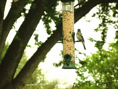 Lazuli Bunting (boisebluebird) Tags: boise lazulibunting boisemovieman boisebluebirdcom httpwwwboisebluebirdcom boiselandscaping boisegardener