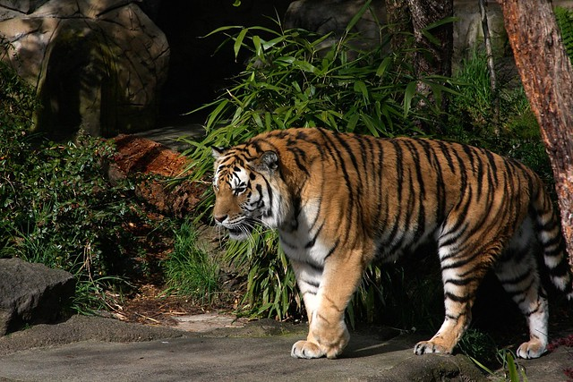 Tiger, Oregon Zoo