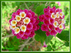 Lantana camara (rose-pink and white flowers)