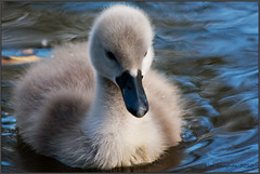 How cute am I (Lolav2010...) Tags: baby water canon canal swan feathers cygnet