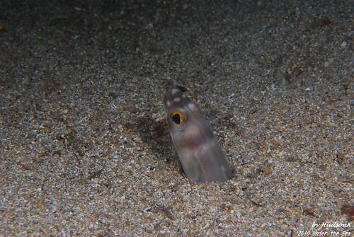沙地中的鰻(2)