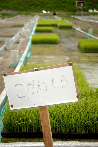 Rice Shoots for Sale