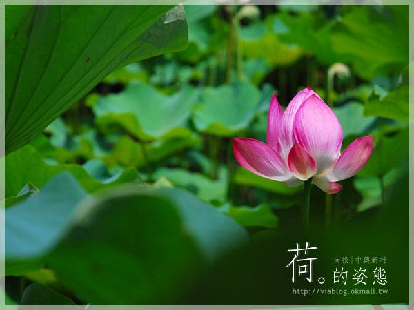 【2010賞荷】南投中興新村~荷花(蓮花)池準備盛放!18