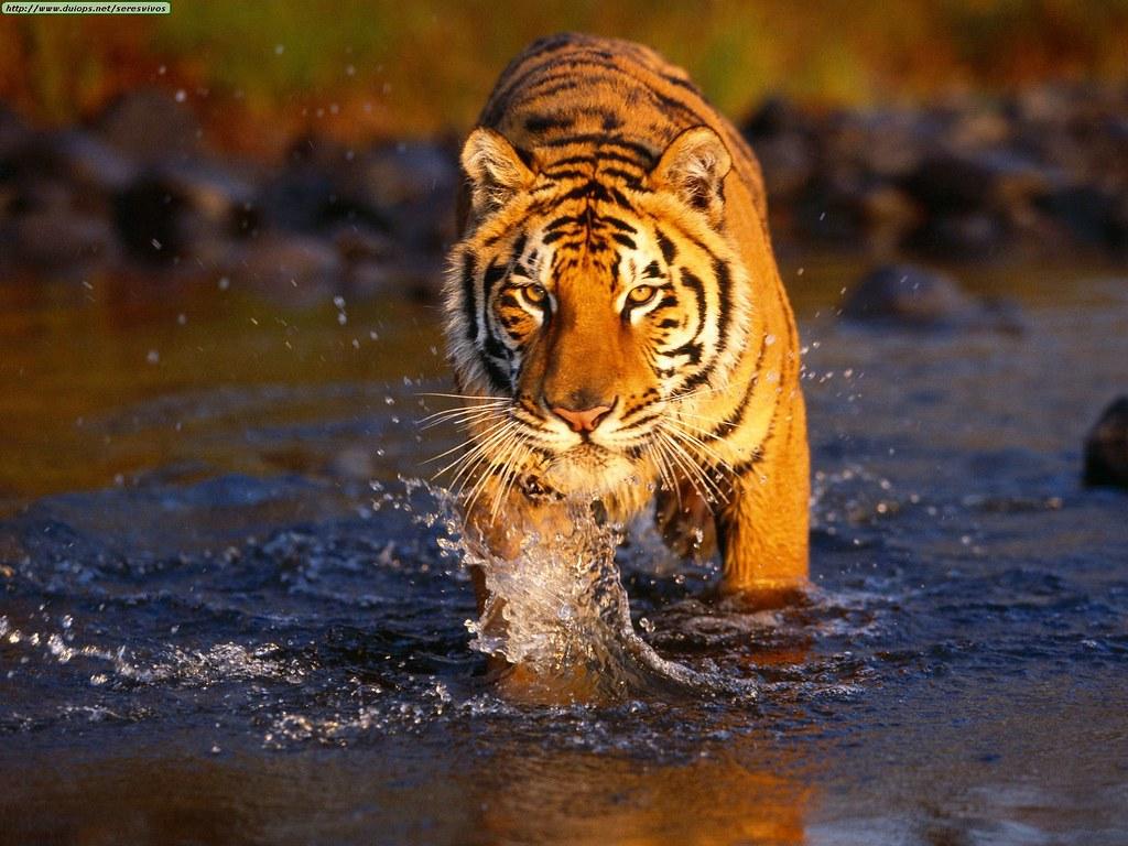 creek-crossing-bengal-tiger
