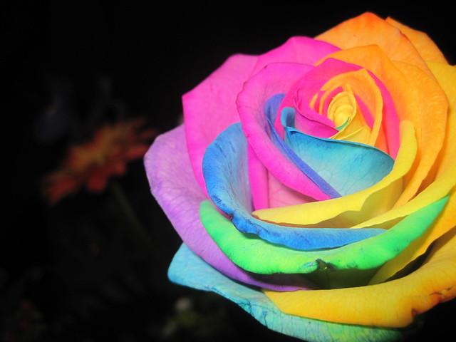 Rosa Arco Iris de colores