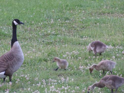 goose & gosslings