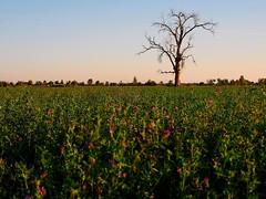 SUNRISE VALLEY (Kodiak1970) Tags: tree mexico arbol valle valley bajacalifornia baja 1970 andres kodiak mexicali chicali andresmiranda chikali kodiak1970 andresmirandaramirez