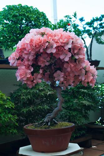 Azalea bonsai en flor, bellísima