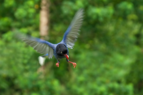 Taiwan Blue Magpie - 藍鵲黯凌