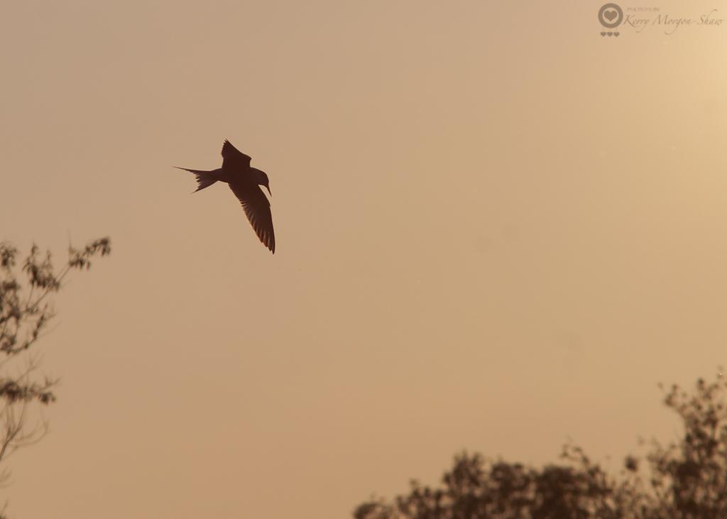 Common tern silhouette - 153/365