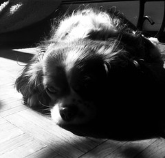 Butterscotch (LveMeBreathless) Tags: light bw dog sun blanco luz sol blackwhite natural negro warmth sombra sleepy shade cavalier doggie perrito sueo calor iphone