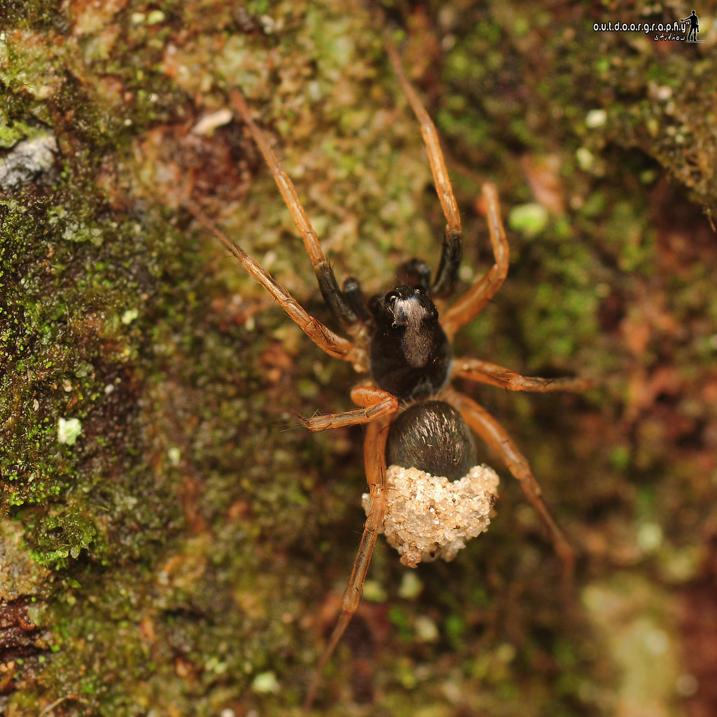 Spider with eggsack | Tupah (by Sir Mart Outdoorgraphy™)