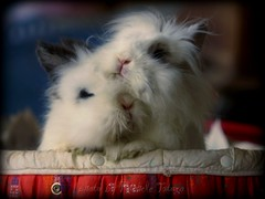 Long eared friends: the original. (roseinthedark) Tags: pets cute bunnies love blu rabbits brotherandsister cuties conigli lionheads coniglietti neveandribes