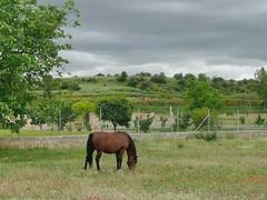En el campo de amapolas (Mi sabiduria) Tags: caballo campo campodeamapolas