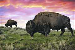 yellowstone buffalo & bison (Dan Anderson.) Tags: sunset wild nature animal southdakota blackhills nationalpark buffalo symbol wildlife icon bull american yellowstone badlands wyoming prairie plains bison grassland range iconic herd roam wildwest grazing nationaltreasure gr