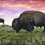 yellowstone buffalo & bison