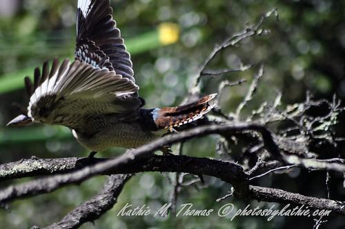 Kookaburra taking off