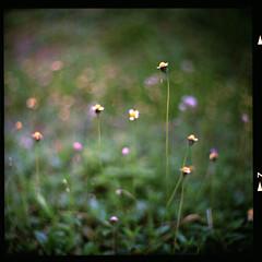 (19/77) Tags: flower slr film nature tiny malaysia 1977 negativescan kiev88 mediumfromat kodakektacolorpro160 autaut canoscan8800f arsat80mmf28 myasin