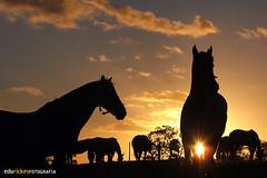 TROPILHA AO ENTARDECER (Edu Rickes) Tags: ca sky horses horse sun sol backlight contraluz atardecer caballos cu cavalos gauchos tropa pampa gachos mouseion pampaargentina culturabrasileira tropilha fimdedia entadecer brazilianphotographers fotgrafosgachos culturagacha brazilculture edurickesfotografia gujoteixeira poesiasgachas fotgraosgachos