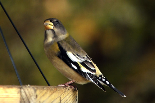 evening grosbeak pondering evening