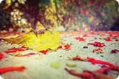 Autumn 2010 (isayx3) Tags: autumn red fall leaves yellow leaf petals nikon dof bokeh sigma depthoffield bee studios tones f28 2010 14mm d40 plainjoe isayx3 plainjoephotoblogcom