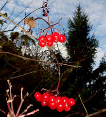 szi ragyogs / autumn sheen (debreczeniemoke) Tags: autumn red berry transylvania sheen transilvania piros erdly sz ragyogs cavnic bogy muntiigutin kapnikbnya gutinhegysg felskapnik