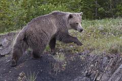 Oso Grizzly (Grizzly Bear) - Kananaskis Country - Canada (Gaston Maqueda) Tags: bear oso grizzly canada alberta canmore kananaskis banff wild wildlife fauna animales salvaje naturaleza nature
