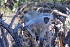 Vervet Monkey (Robert Styppa) Tags: vervet monkey africa south animal nature baby wild wildlife black mammal fur safari primate white face tree green cute brown young looking eyes sitting funny robertstyppa nikond610 botswana southafrica