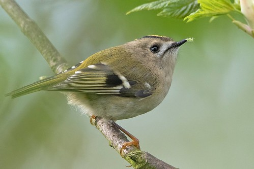 Goldcrest catching greenfly