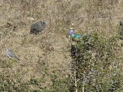P1150909 Zimbabwe (38) (archaeologist_d) Tags: zimbabwe stanleylivingstonesafarilodge lilacbreastedroller africa southernafrica safari