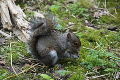 Grey Squirrel (Sciurus carolinensis) (Seventh Heaven Photography) Tags: grey gray squirrel sciurus carolinensis sciuruscarolinensis omnivore omnivorous rodentia rodent animal mammal nikond3200