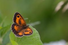 Gatekeeper Upton NWT (JohnMannPhoto) Tags: gatekeeper upton nwt butterfly norfolk