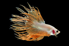Glod Crowntail Betta (da nokkaew) Tags: isolated aquatic aggressive tropical ballet chinese fin tail power pose swimming fighting dancer luxury aquarium freshwater scale cute elegant dress flame biology color crowntail betta motion beauty alone thailand asia ferocious halfmoonbetta siamese art hobby beta background domestic water space fish nature pet exotic eye action animal pop macropodinae osphronemidae