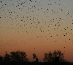 Murmuration-3 (Odd Wellies) Tags: hamwall murmuration starlings