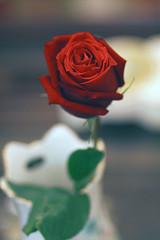 [フリー画像] [花/フラワー] [薔薇/バラ] [一厘の花] [レッド/花]       [フリー素材]
