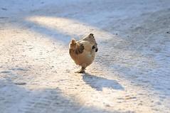 Huhn im Ouwehands Dierenpark Rhenen (Ulli J.) Tags: zoo huhn rhenen ouwehandsdierenparkrhenen