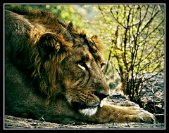 Yo El Rey (flickrohit) Tags: eyes king wildlife lion claw rohit mane naturesfinest kingofthejungle rohitgowaikar