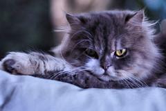 so, how YOU doin...? (RuanNiemann) Tags: delete10 cat canon delete9 delete5 delete2 persian delete6 delete7 delete8 delete3 delete delete4 save 50mm18 caturday