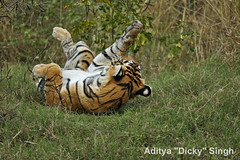 ADS_000006644 (dickysingh) Tags: wild india outdoor wildlife tiger bigcat aditya ranthambore singh ranthambhore dicky naimal adityasingh ranthamborebagh theranthambhorebagh wwwranthambhorecom