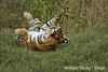 ADS_000006644 (dickysingh) Tags: wild india outdoor wildlife tiger bigcat aditya ranthambore singh ranthambhore dicky naimal adityasingh ranthamborebagh theranthambhorebagh wwwranthambhorecom