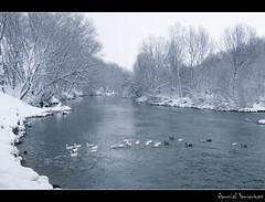 Menuda patada! (Daniel Bratos) Tags: ro agua nevada ebro fro patos mirandadeebro