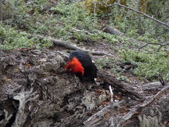 Male Magellanic woodpecker at Tierra del Fuego NP P1020769 (grebberg) Tags: patagonia male bird nature argentina forest tierradelfuego nationalpark woodpecker december wildlife aves 2009 campephilus tierradelfuegonationalpark lagoroca campephilusmagellanicus magellanicwoodpecker