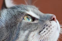 [フリー画像] [動物写真] [哺乳類] [ネコ科] [猫/ネコ] [見上げる]      [フリー素材]