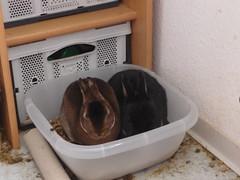 Im Klo ist's doch am schnsten (superclaerchen) Tags: rabbit bunny rex schssel castor kaninchen loh japaner kuscheln lwenkopf papierrolle lwchen