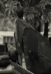 WHAT YOU LOOKING AT (CHECKMENOW) Tags: bw birds alleppey coahin