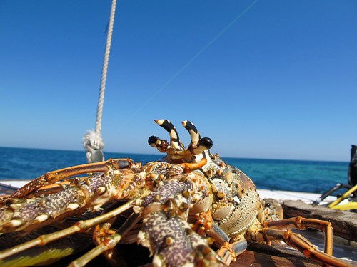 Fresh Lobster in Belize