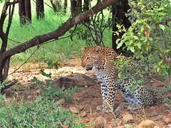 Leopard (Arno Meintjes Wildlife) Tags: africa wallpaper nature wildlife leopard bigcat predator krugernationalpark kruger big5 arnomeintjes