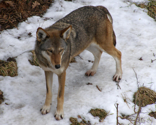 Ever Vigilant...................(Red Wolf)
